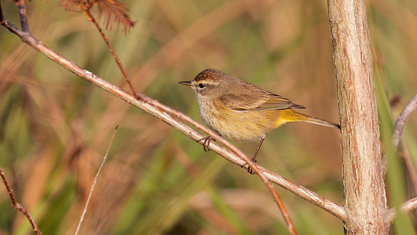 Photograph of a Palm Warbler