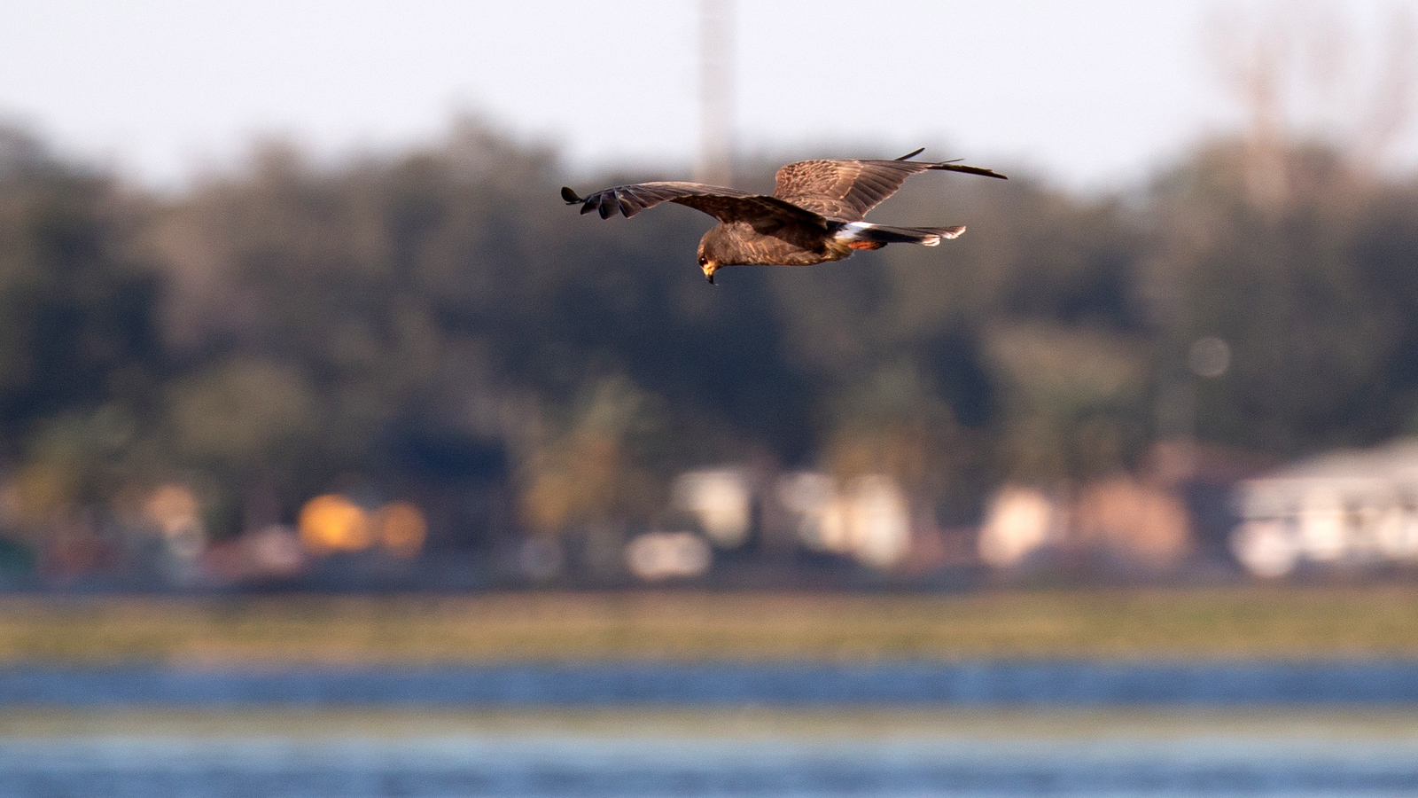Photograph of a Snail Kite in flight