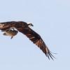 Osprey_Viera Wetlands_2
