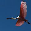 Roseate Spoonbill_St  Augustine_5