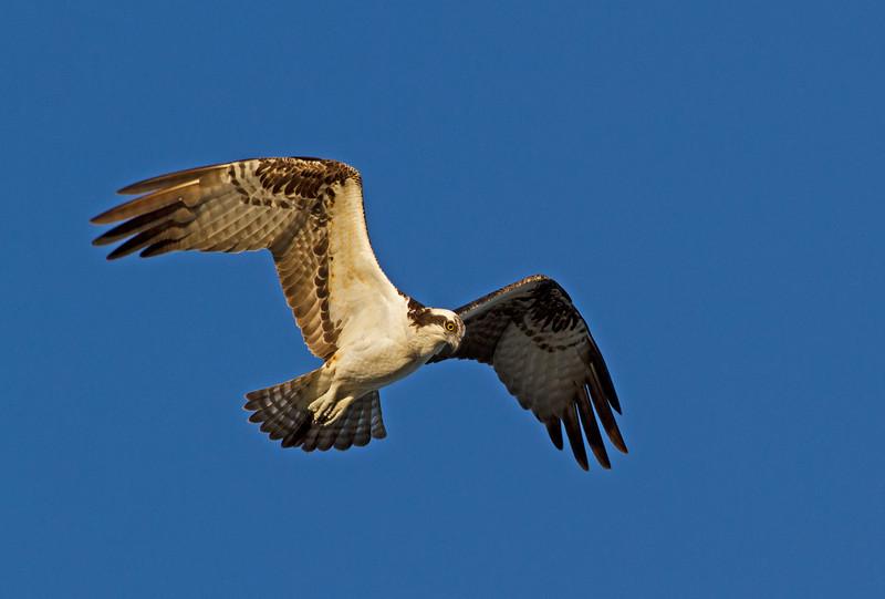 Osprey_Ding Darling NWR (2)