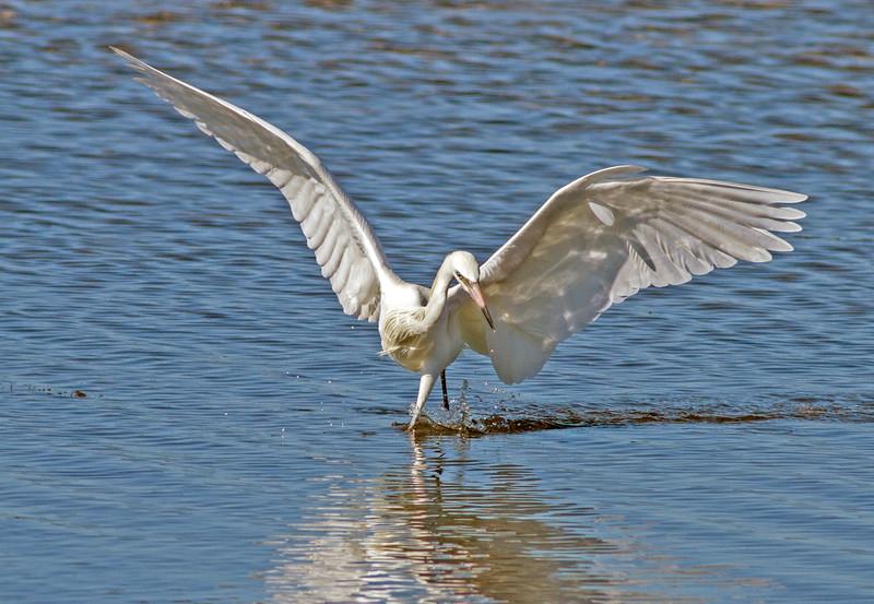 White Morph Reddish Egret_Ding Darling NWR