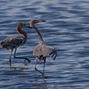 Reddish Egrets_Merritt Island NWR