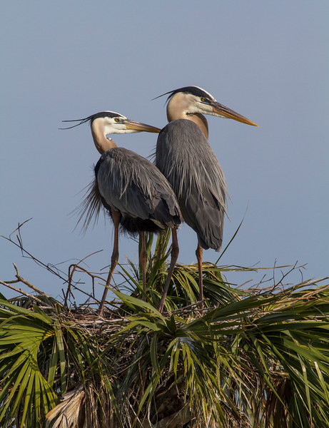 Behind Every Good Heron
