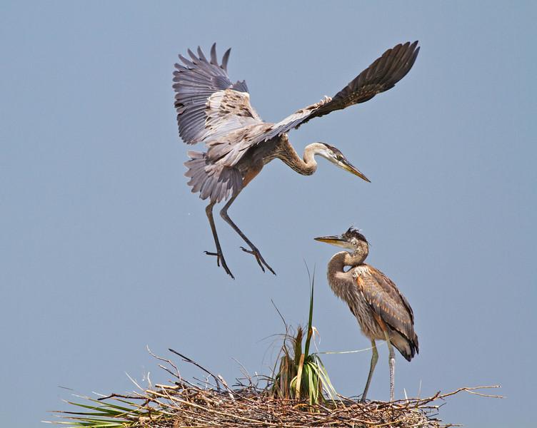 Great Blue Herons_Viera Wetlands