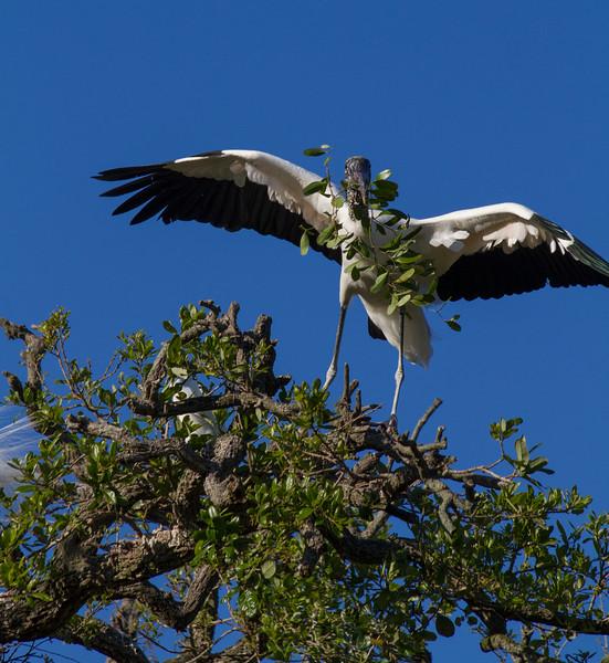 Wood Stork_St  Augustine
