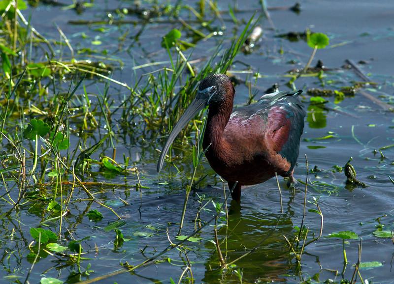 Glossy Ibis_Merritt Island NWR