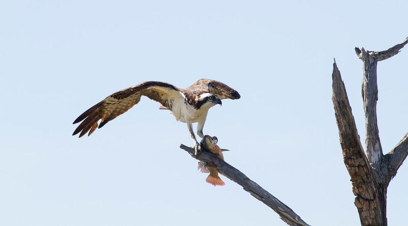 Osprey_Viera Wetlands