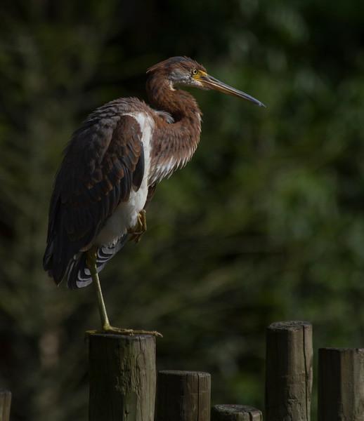 Tricolor Heron_St  Augustine