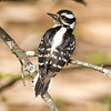 Downy wodpecker