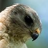 Red Sholder Hawk