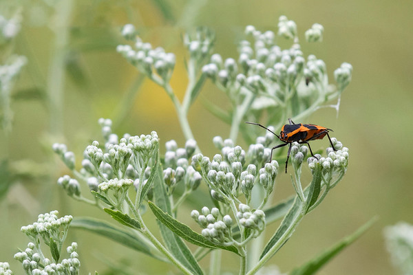 Large Milkweek Bug