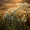 Salt Marsh Groundsel Bush