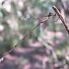Blue-striped Spreadwing (Lestes tenuatus)