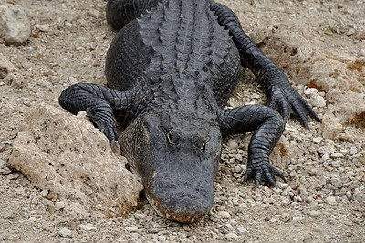 Battle Tested - American Alligator, Big Cypress National Preserve