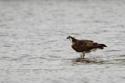 Wading Osprey