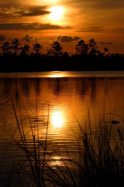 Silent Gator Everglades National Park Florida