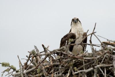 Osprey Stare Down