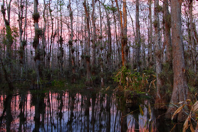 Cypress Trees at Dusk Big Cypress National Preserve Florida