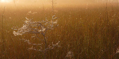 Spider Webs in Morning Light Everglades National Park Florida
