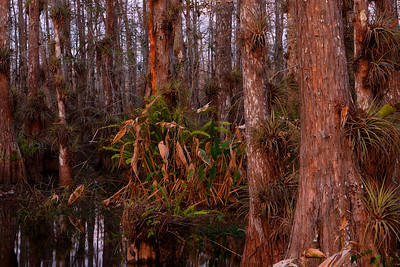Cypress Swamp, Evening Big Cypress National Preserve Florida