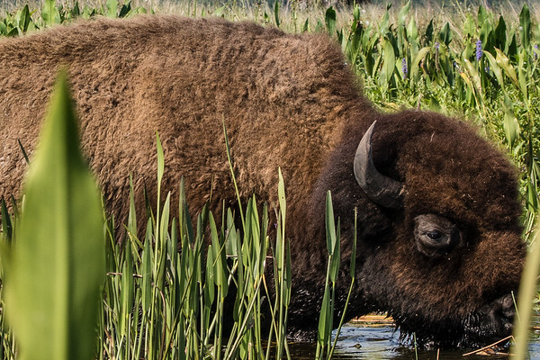Bison in Lake Kissimmee