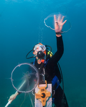 While ascending from a scientific survey dive in Biscayne National Park, a park diver gently clears a path to the surface through a swarm of moon jellies (Auralia sp.) that had recently entered the waters of south Florida.  An increase in jellyfish swarms may indicate changes to ocean ecosystems, which the National Park Service is monitoring through long-term ecological studies of natural resources such as the coral reefs in Biscayne.