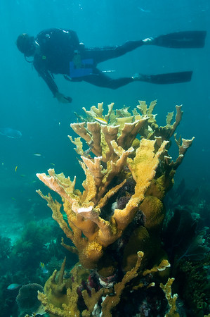 An NPS SFCN Marine Ecologist observes a large colony of Elkhorn Coral in Biscyane