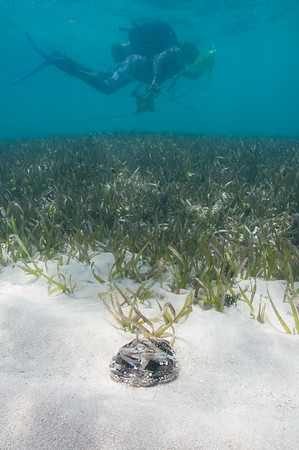 An FIU diver laying the tape for seagrass transect