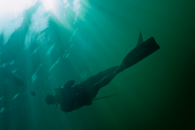 An NPS diverascends from a survey dive in the thick green water of a shallow site in Biscayne Bay..
