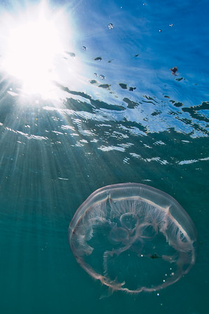 One of the many moon jellyfish that appeared in south Florida in the summer of 2011.