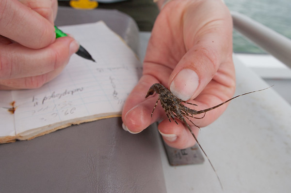 Biscayne National Park biologists measure post-larval recruitment of Florida's spiny lobsters.  Post-larval lobsters are perhaps the cutest arthropods I have seen!
