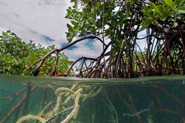 Although the mangroves many look pristine from the surface, lines and other debris are often tangled in the prop roots below the surface.