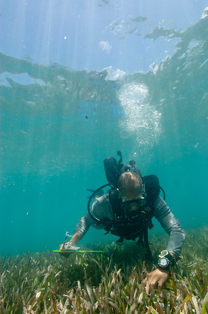 An FIU diver examining the contents of a quadrate in an area with dense seagrass