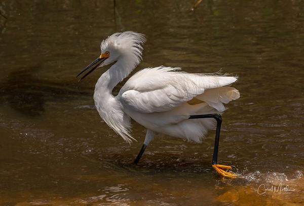 Snowy Egret frenzy-5
