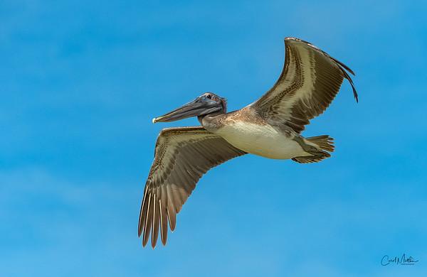 Brown Pelican overhead-4
