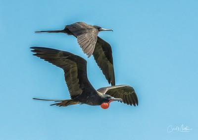 Magnificent Frigte pair in flight-3