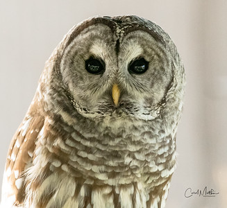 5 month old barred owl
