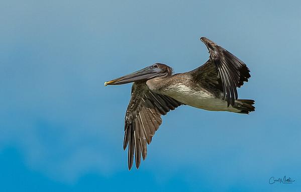 Brown Pelican overhead-5