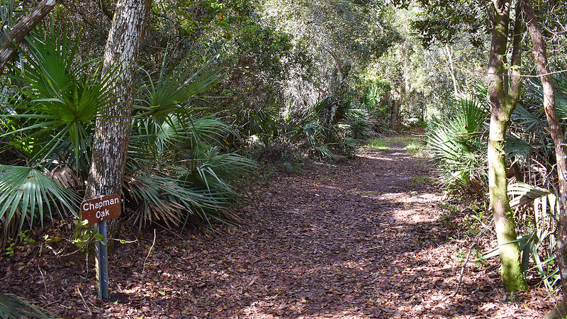 Brown sign says Chapman oak next to trail under oaks
