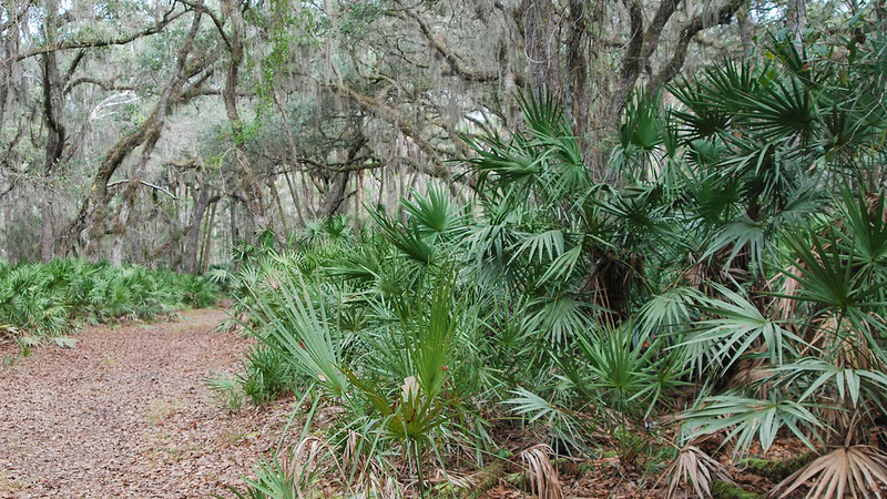 Clump of saw palmetto under live oaks