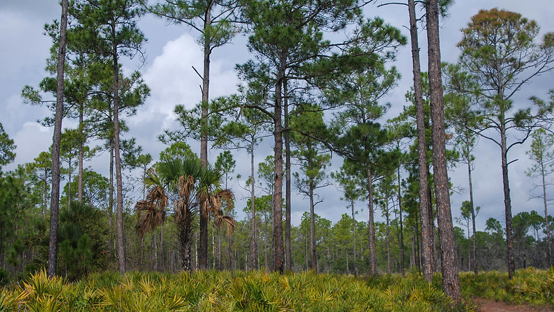 Tall pines with thick palmetto understory