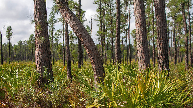 Pond pine trees with needles emerging from trunks