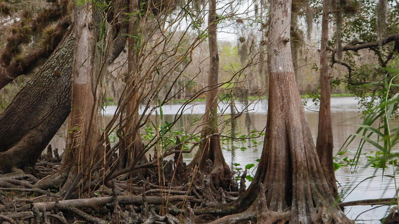 Cypress trees along the river