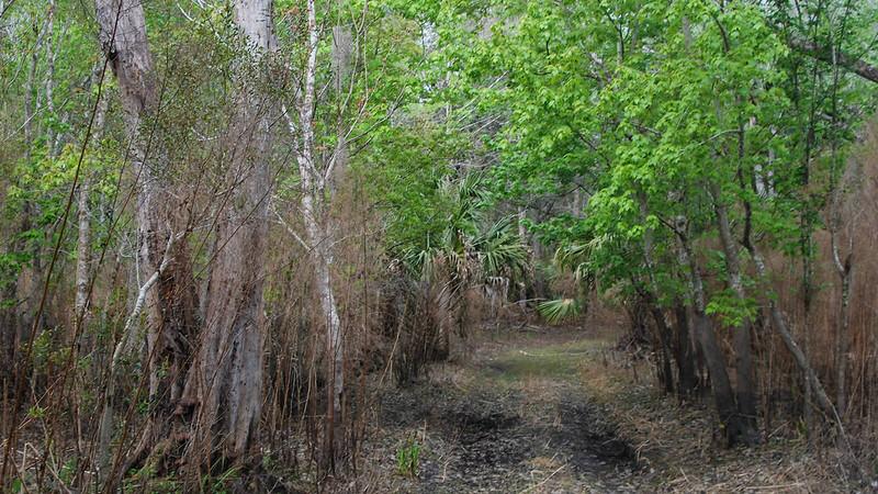 Dark earth ruts under maple in swamp
