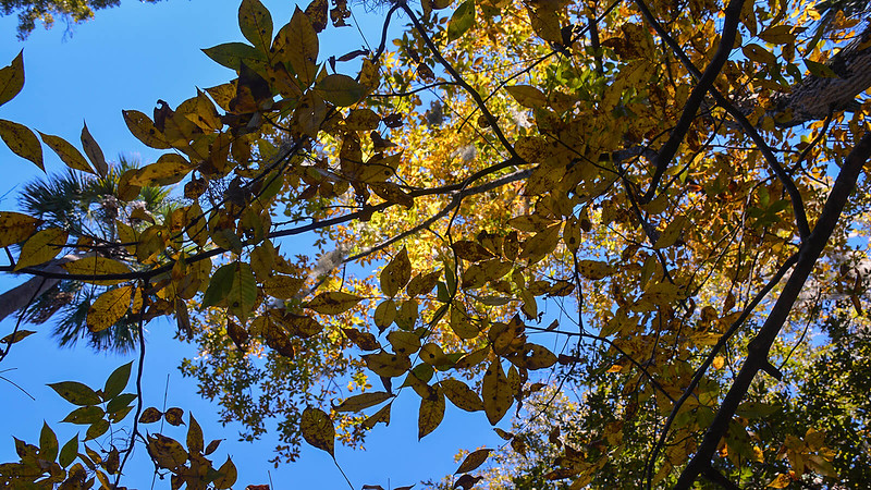 Hickory leaves in yellow in fall