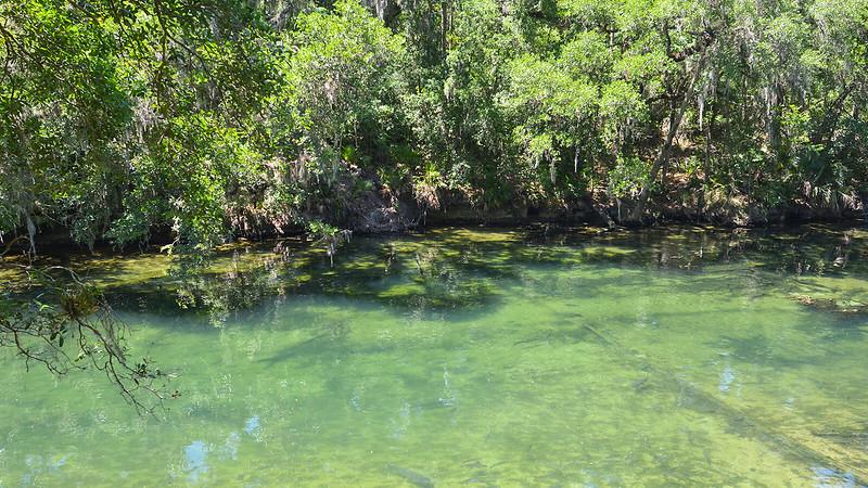 Fish swimming in greenish clear water