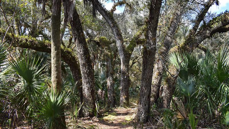 Trail between oaks