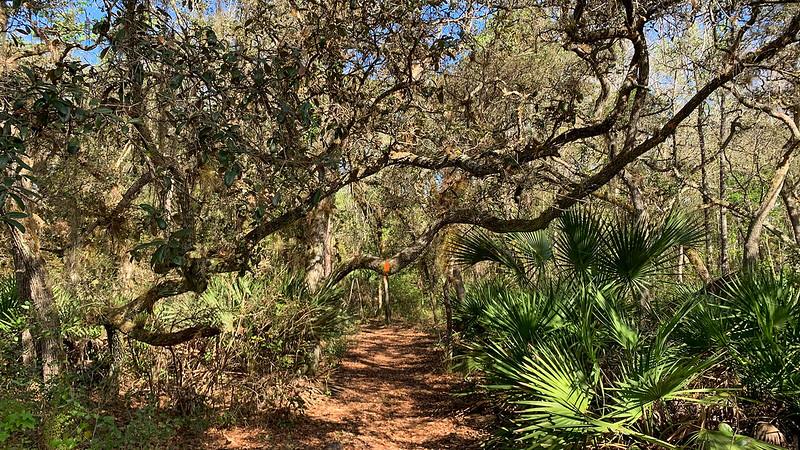 Orange blaze on low hanging oak limb