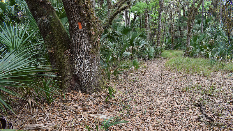 Orange blaze on oak tree in forest